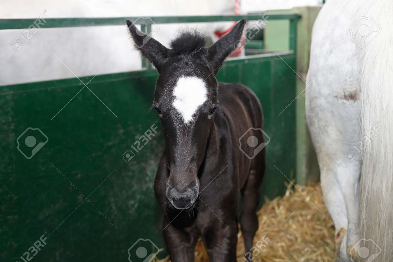 Small young black foal horse with dam Stock Photo - 19339059