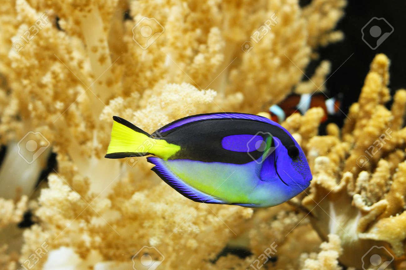 Blue regal tang fish in tropical aquarium Stock Photo - 23266148