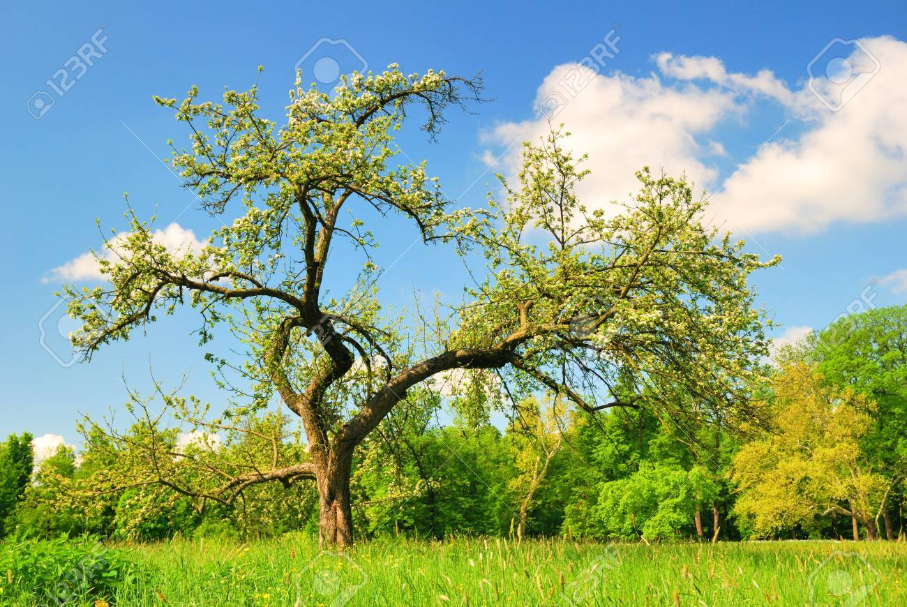 old apple tree in bloom in spring season stock photo picture and