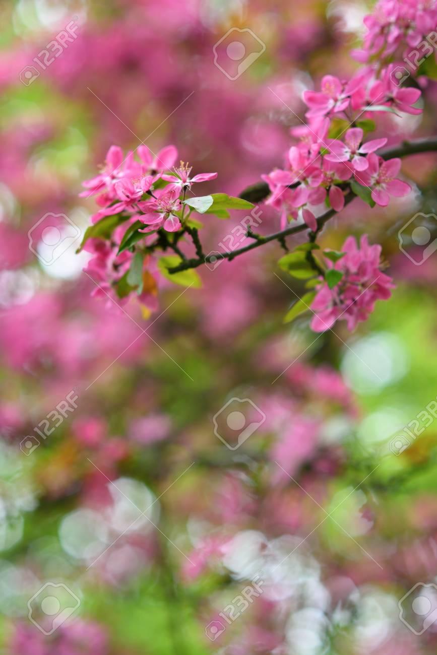 Arbre en fleurs rouge au printemps saison détail Banque d\u0027images , 39688524