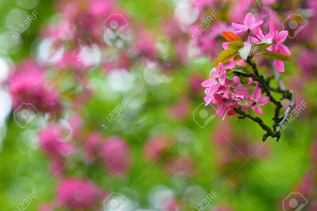 Arbre en fleurs rouge au printemps saison détail Banque d\u0027images , 39688508