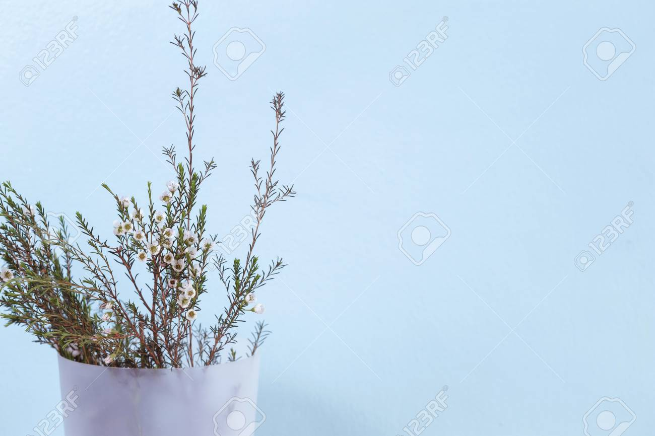 Waxflower In White Plastic Tank On Turquoise Color Wall Stock Photo