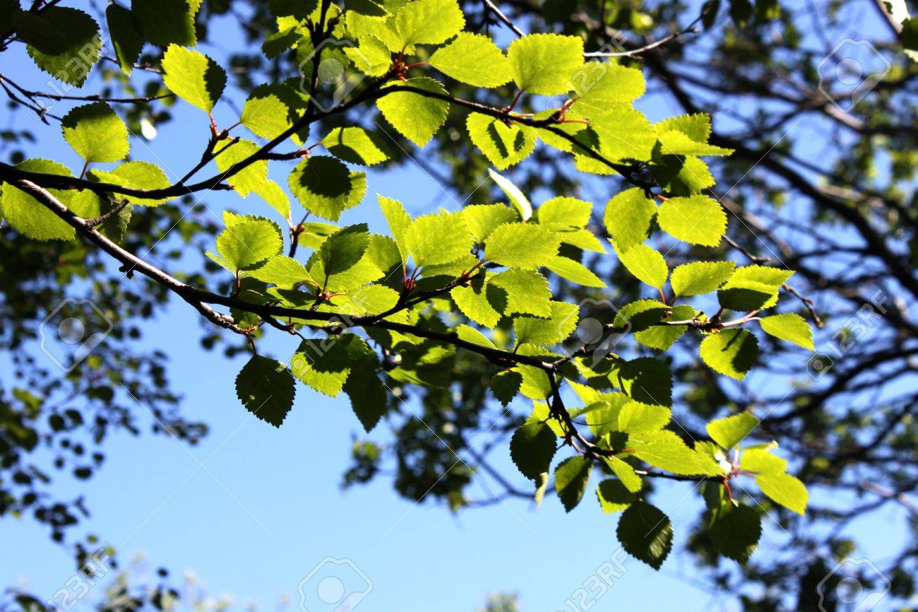 branch of birch trees with green leaves on the background of blue sky Stock Photo - 14177468
