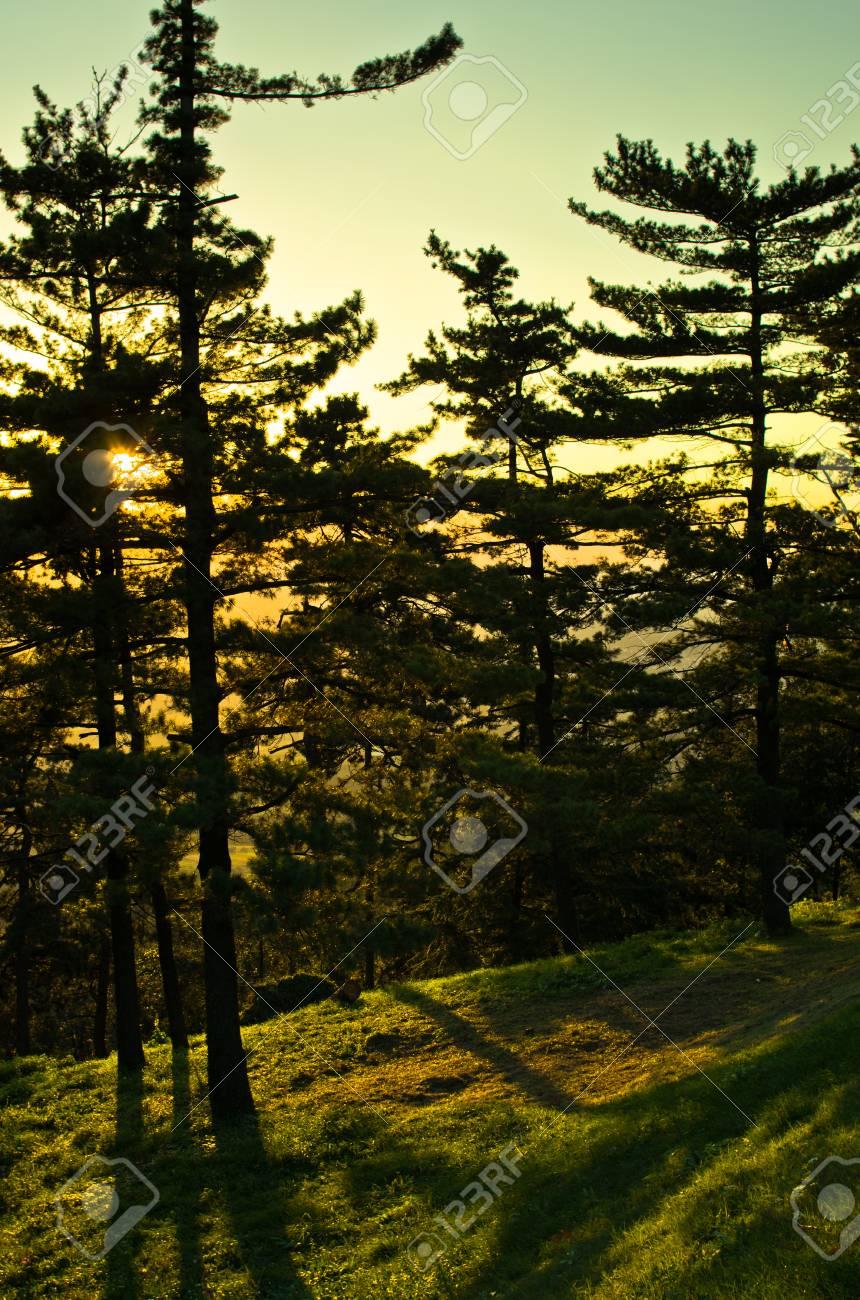 golden pine tree forest at sunset near belgrade serbia stock photo