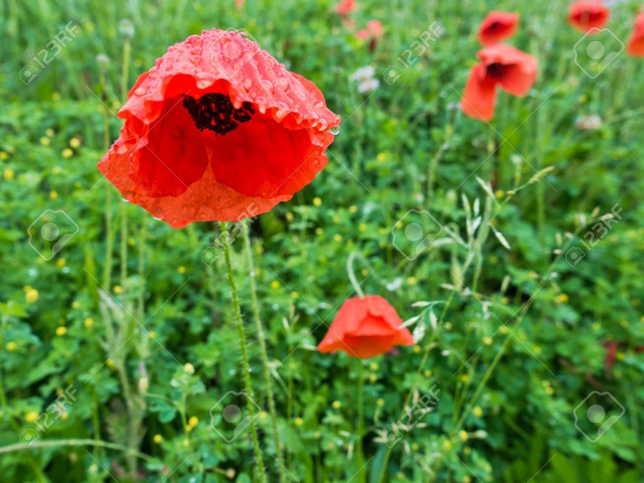 Closeup Of Red Poppy Flowers On A Green Field After Rain Stock Photo