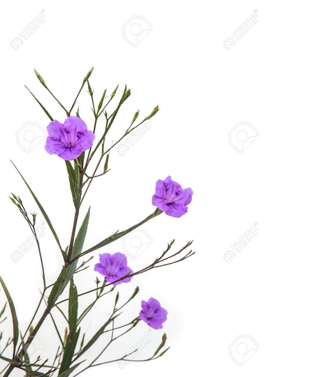 Ruellia Plante Tubereuse Avec Fleur Violette Floraison Contre Un