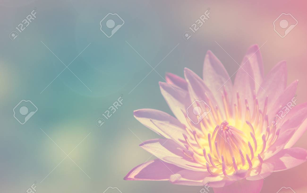 Blooming Lotus Flower That Beautiful And Peace Stock Photo Picture