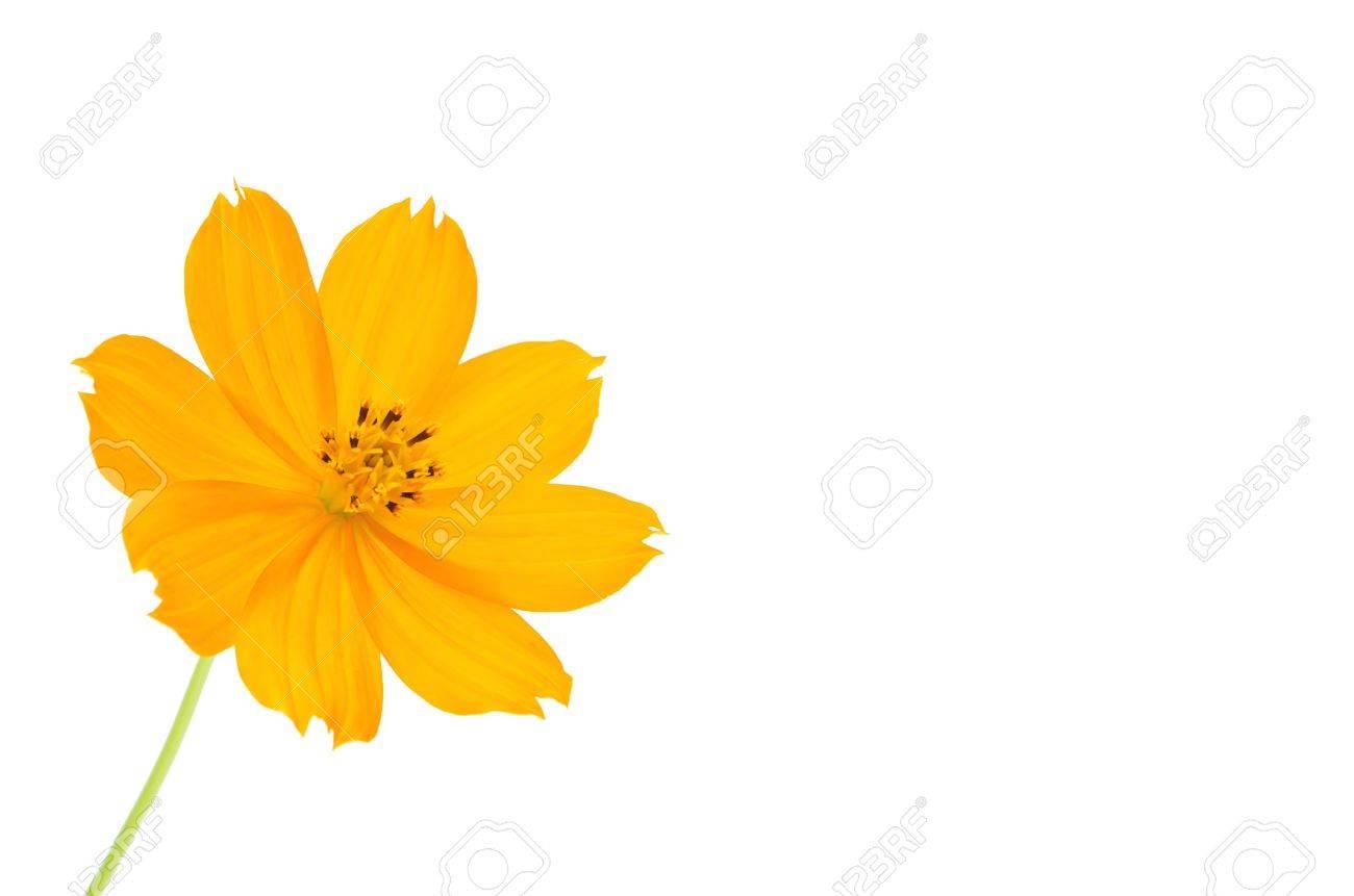 Orange Cosmos flower isolated on white background. Stock Photo - 11109592