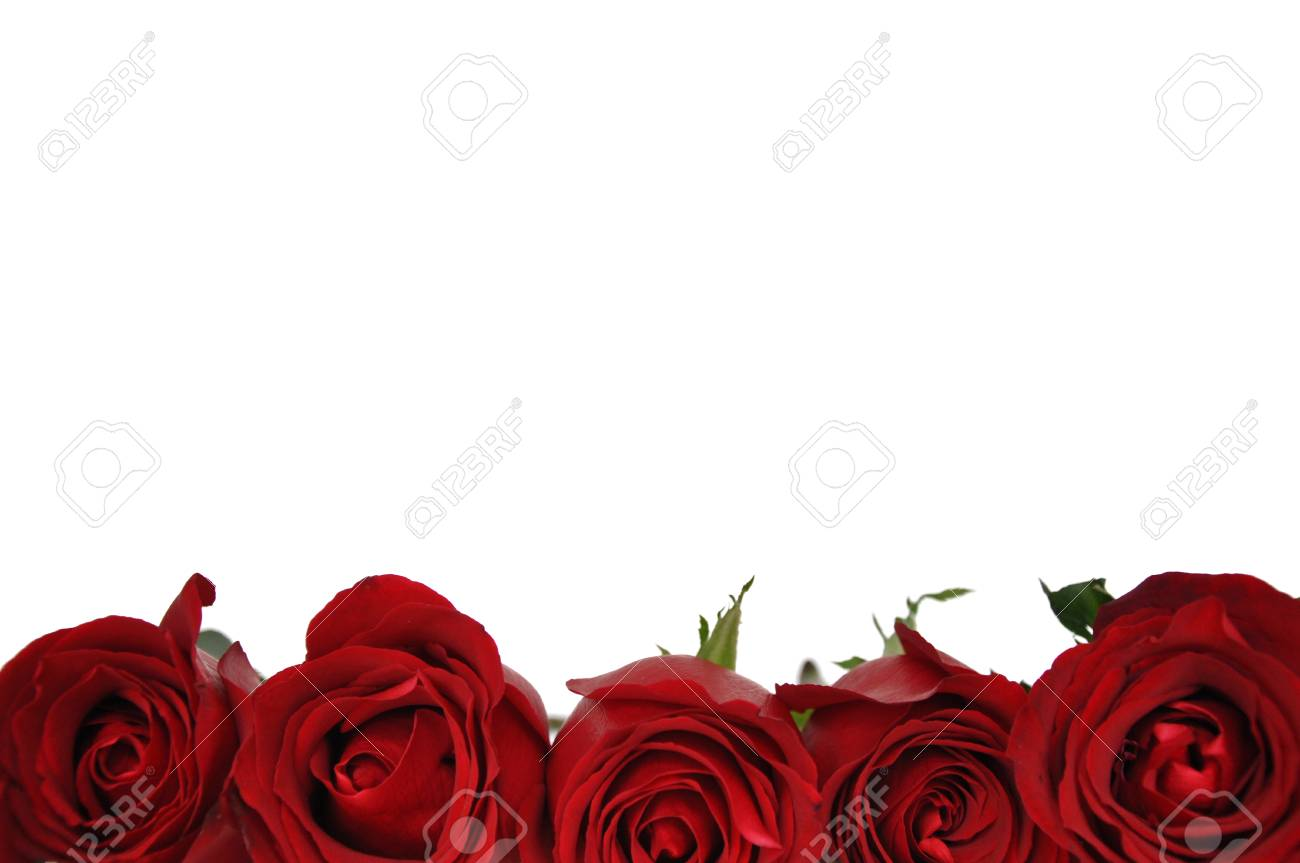 The Fresh Red Color Roses Isolated On White Background That Have ...