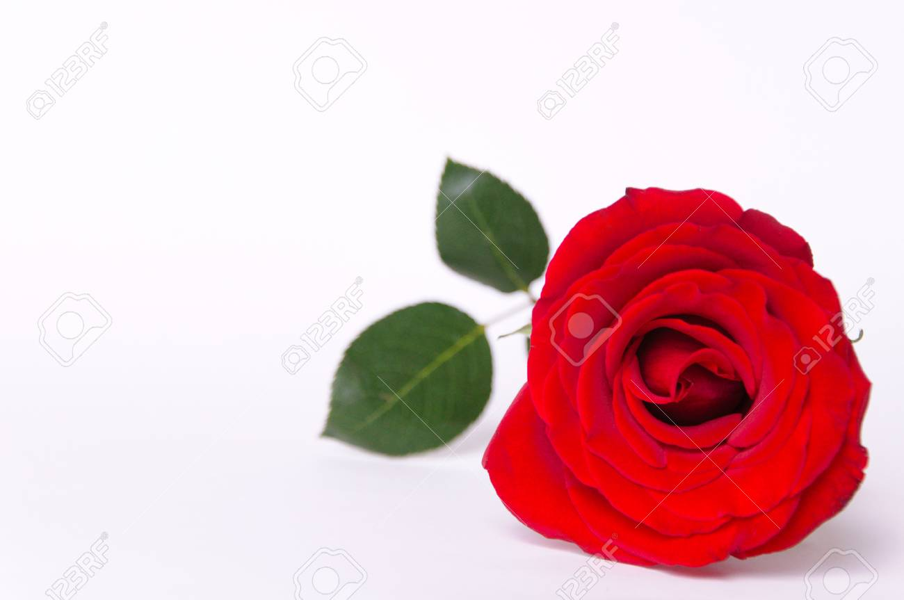 The Fresh Red Color Rose Isolated On White Background That Have ...