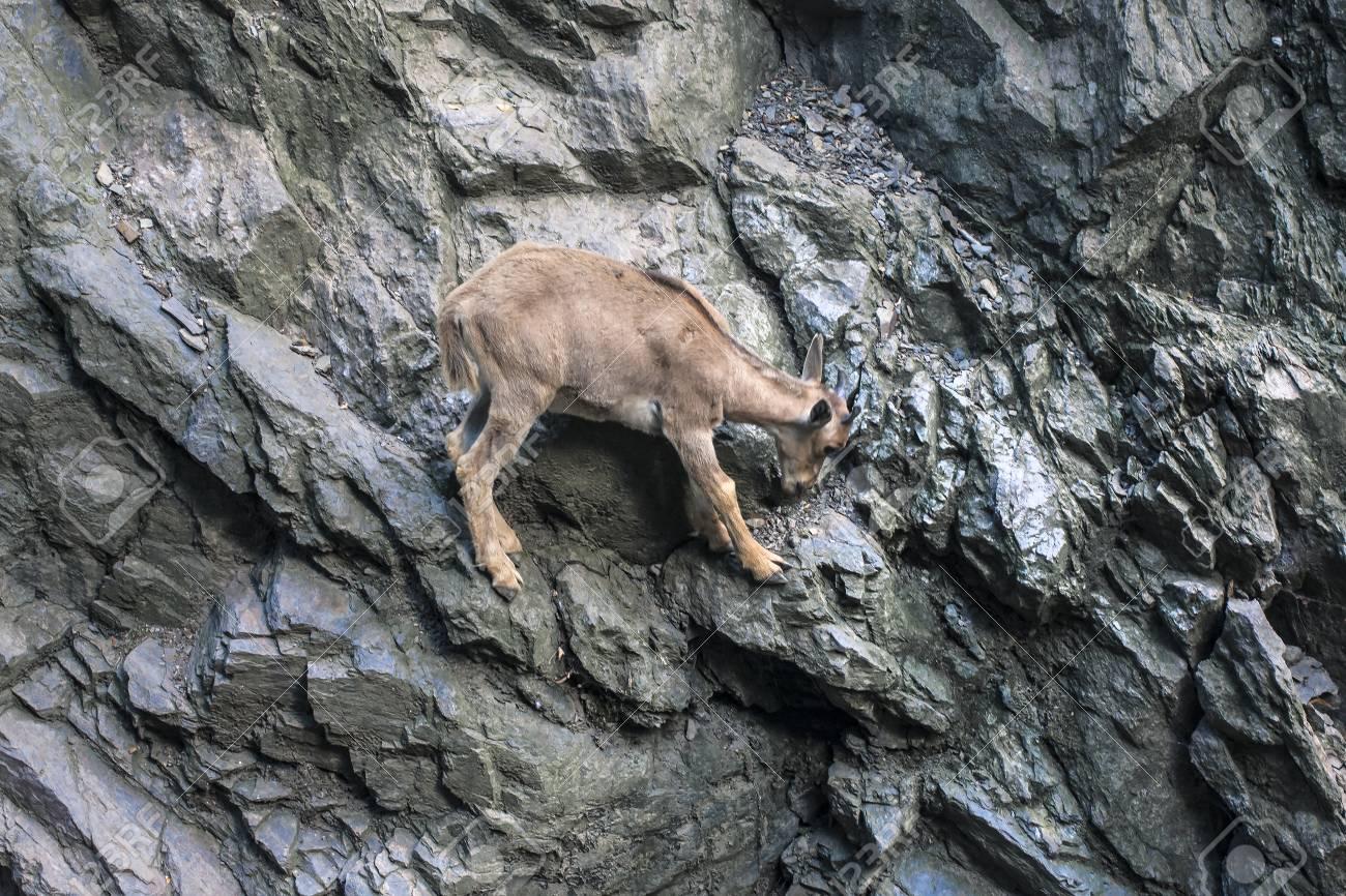 Mountain goat climb on rocks  Wildlife backgorund with copy