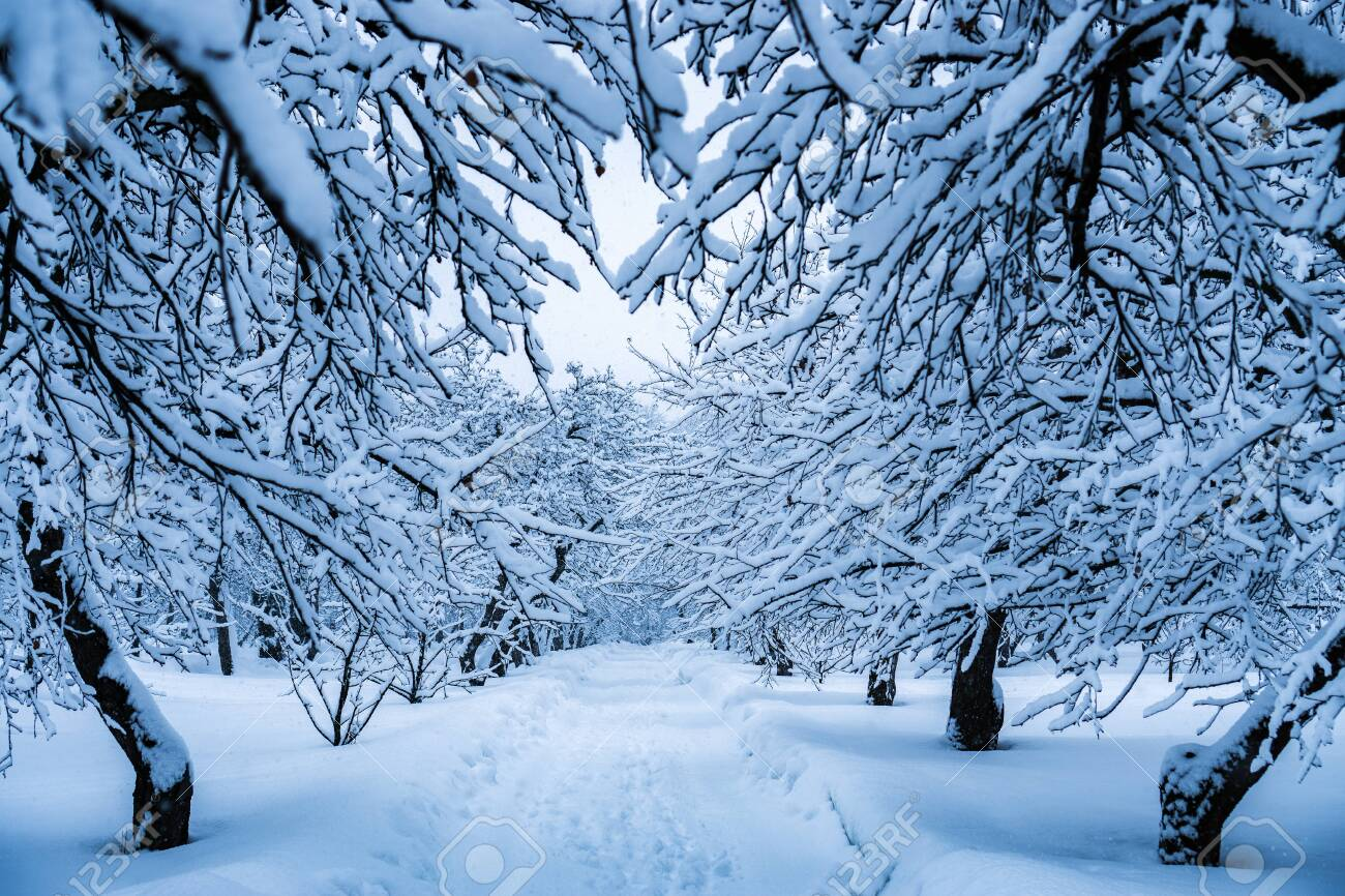 The trees in the Park after the snowfall are completely covered with snow. - 122315305