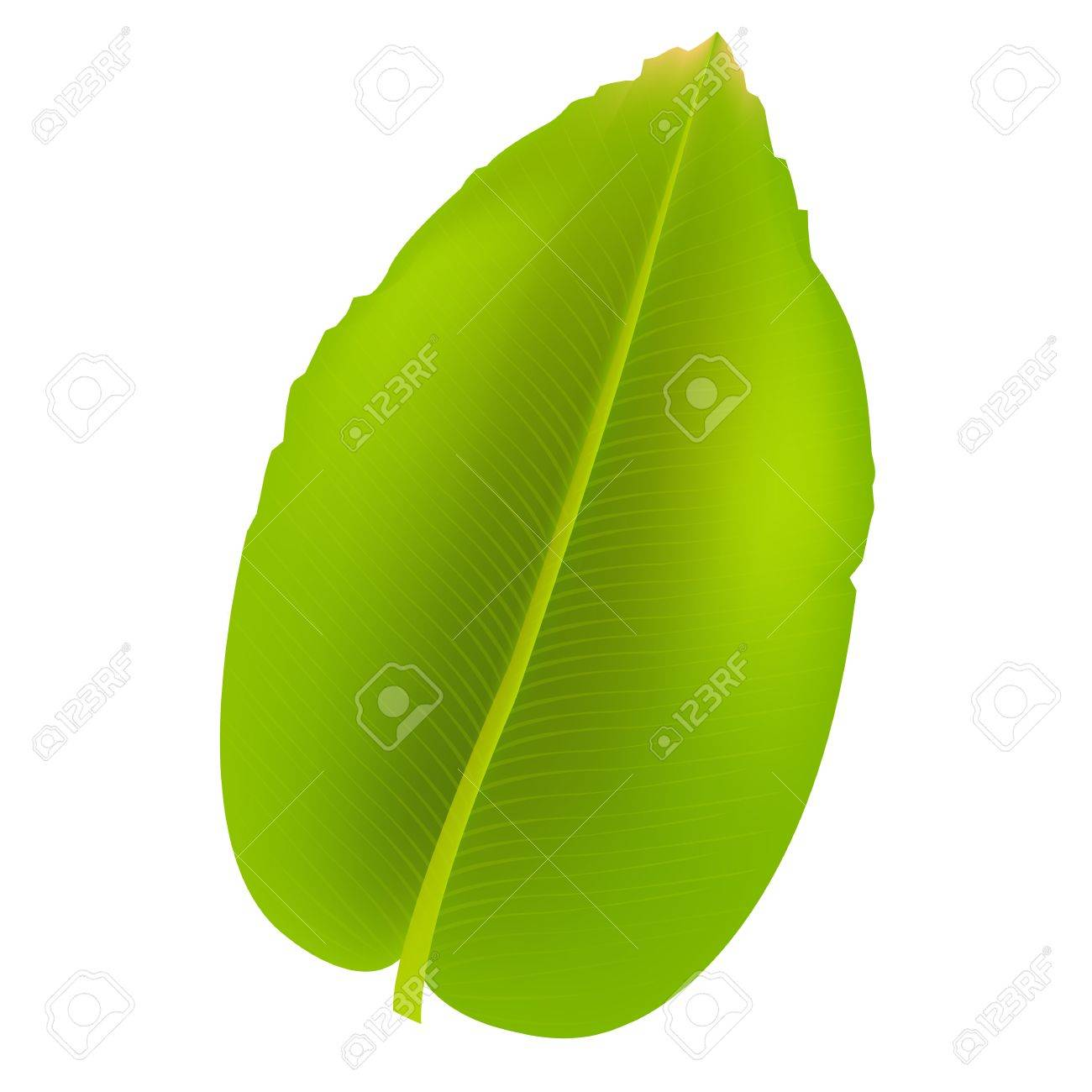 Banana Leaf, Isolated On White Background Stock Vector - 10394787