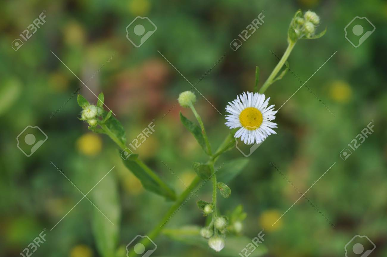 Small Daisy Flower Looks Like A Sad Frowning Face Stock Photo