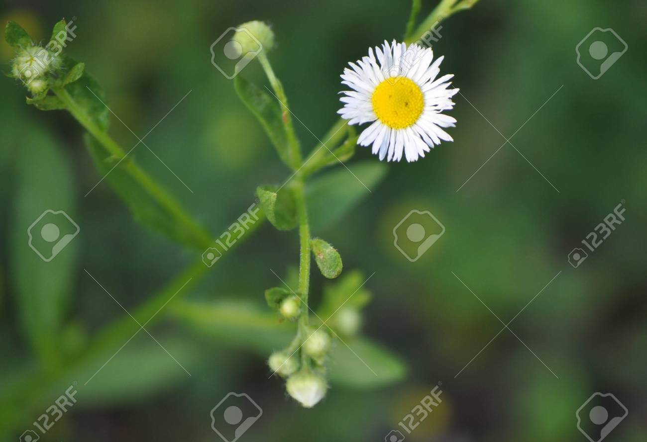 Small daisy flower looks like a sad frowning face stock photo small daisy flower looks like a sad frowning face stock photo 98291239 izmirmasajfo