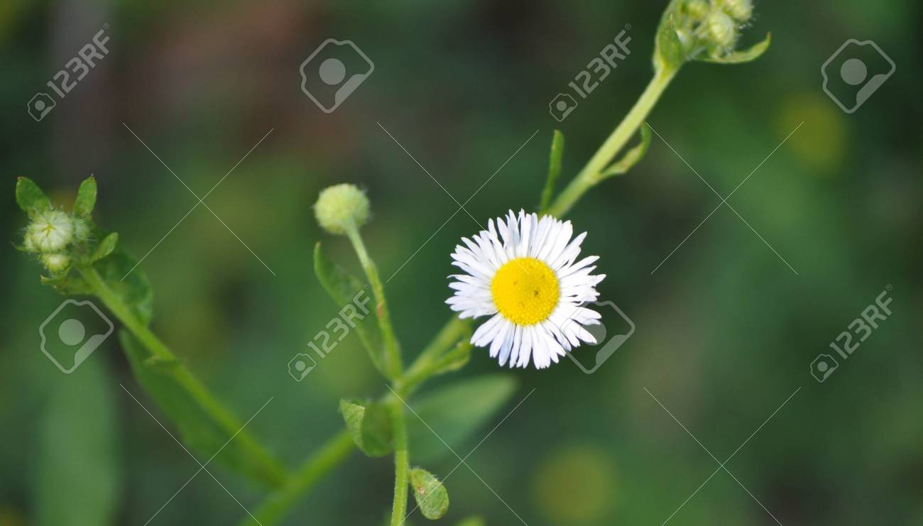 Small daisy flower looks like a sad frowning face stock photo small daisy flower looks like a sad frowning face stock photo 98301769 izmirmasajfo
