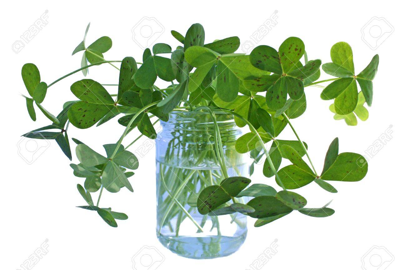 Glass jar filled with wild green clover, perfect for St. Patrick�s Day Stock Photo - 2867293