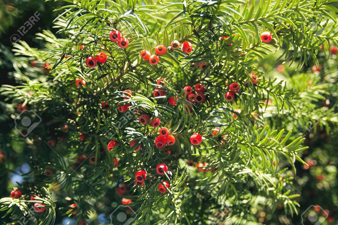 Evergreen Tree With Some Strange Red Berries Stock Photo Picture