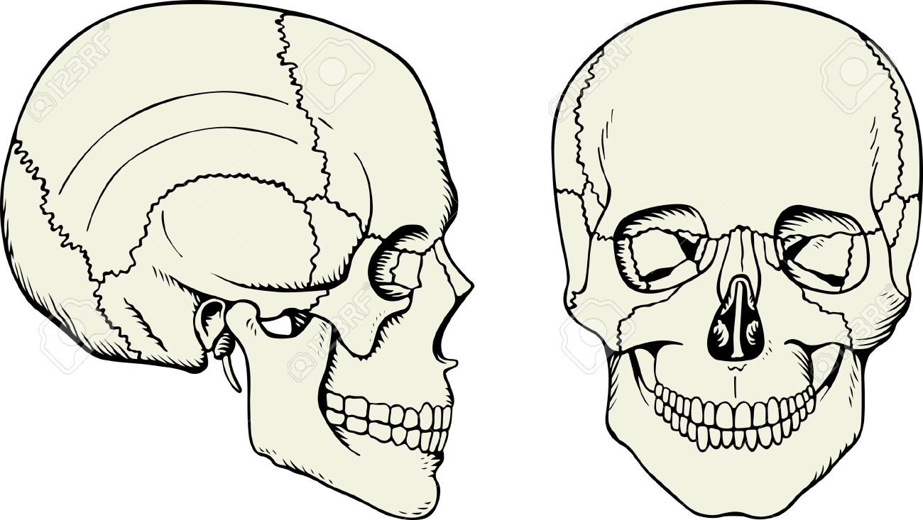 Cráneo Humano En Blanco Ilustraciones Vectoriales, Clip Art ...