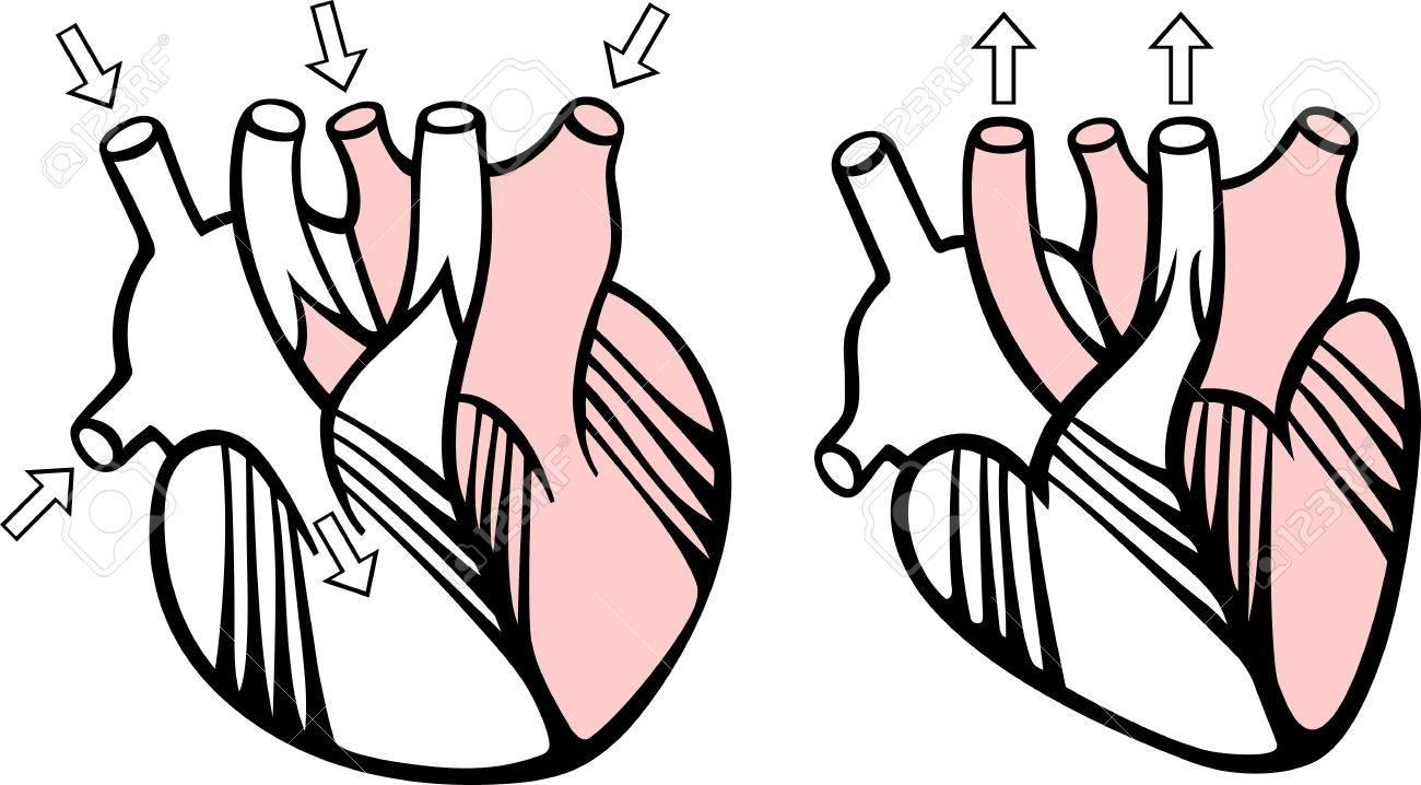 Scheme of human heart Stock Vector - 10315076