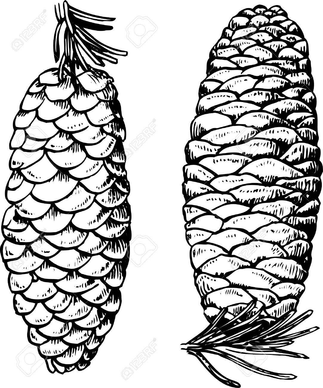 Pine cones on white Stock Vector - 10332505
