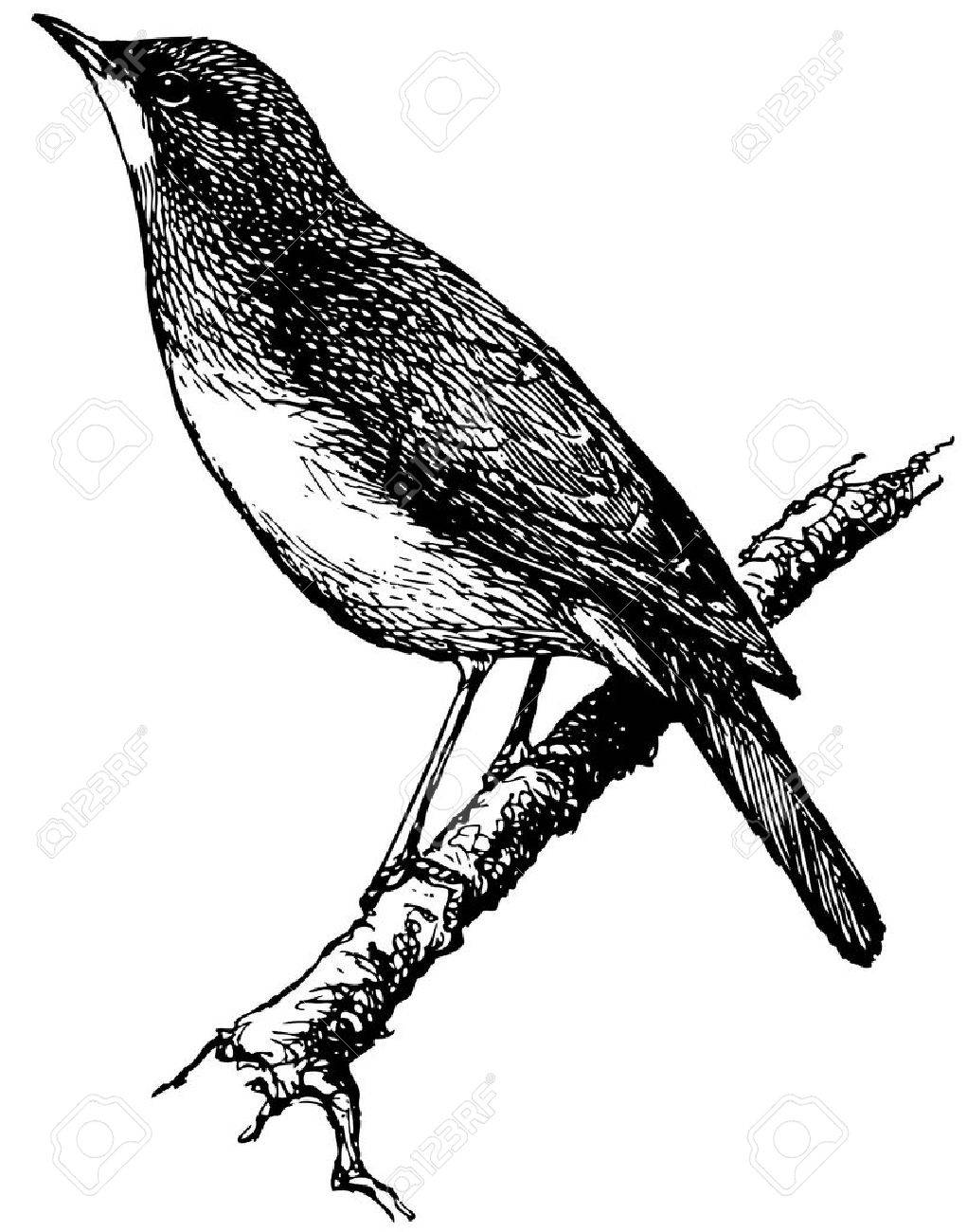 Bird Nightingale Royalty Free Cliparts Vectors And Stock