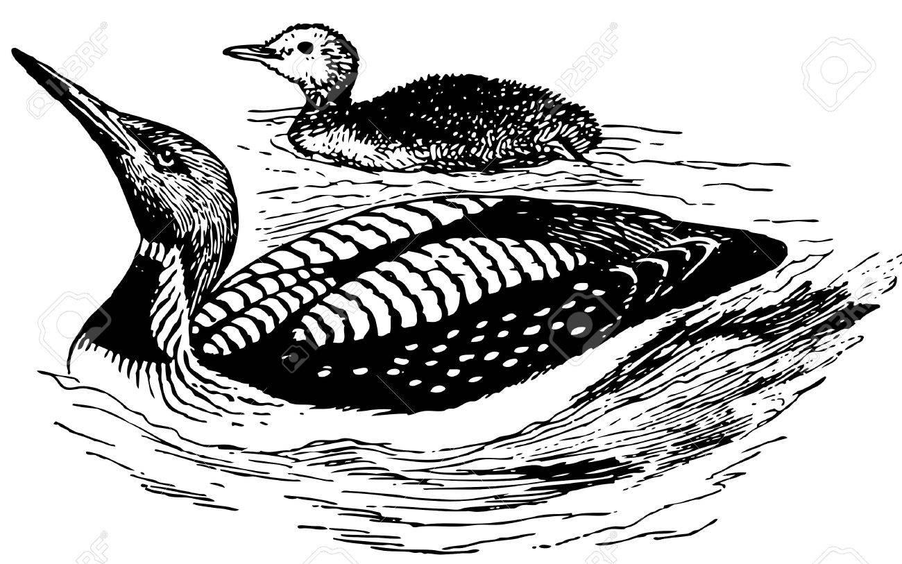 Bird Black-throated Loon Stock Vector - 12486009