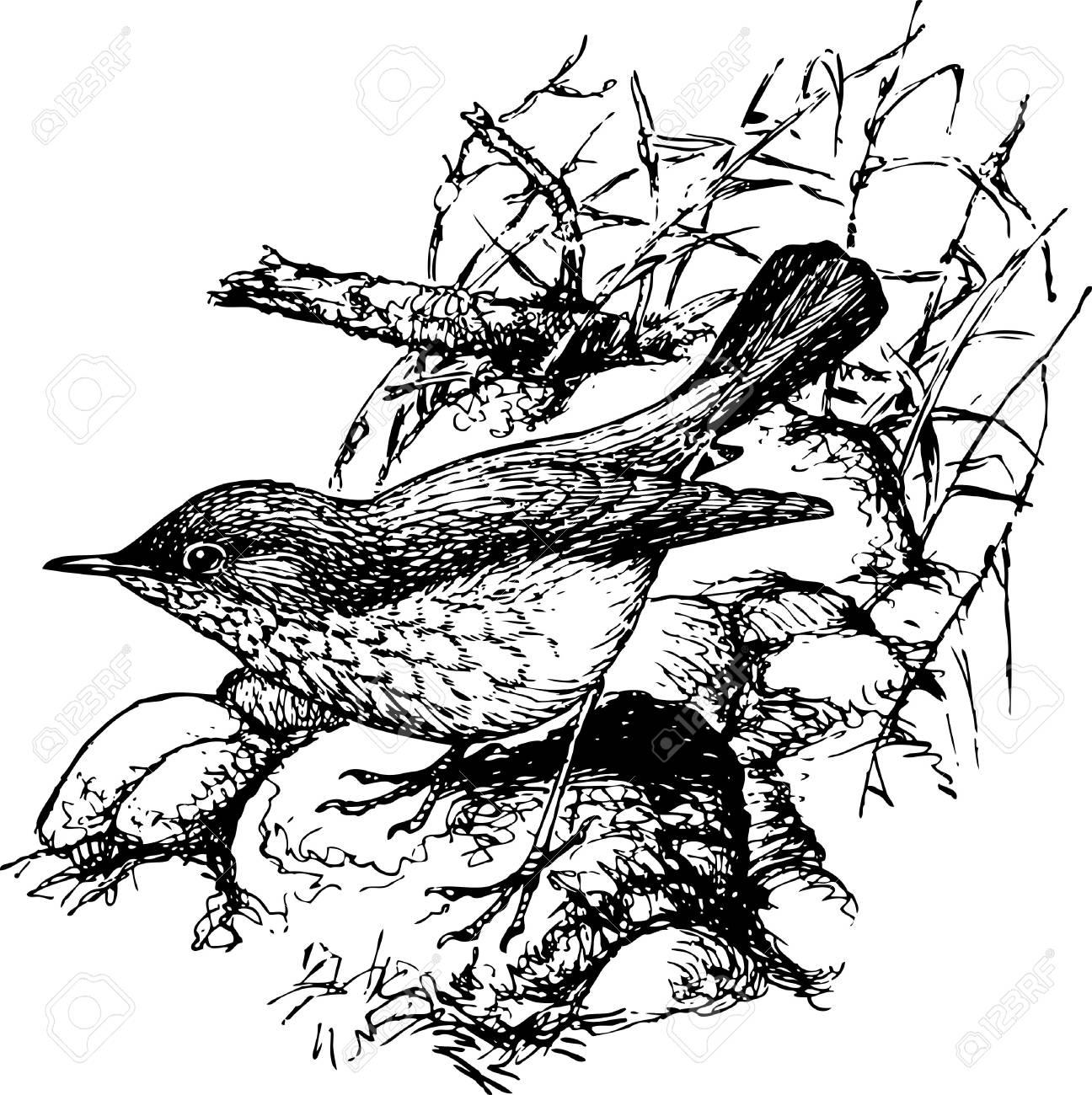 Bird Rufous-tailed Robin Stock Vector - 12486671