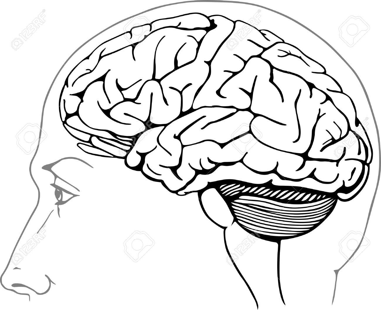 Human brain Stock Vector - 14687000