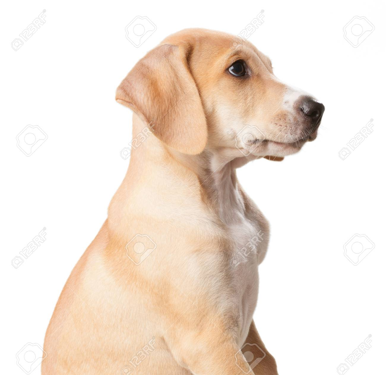 be4e6729f35 Short haired blond dog with mouth closed close up