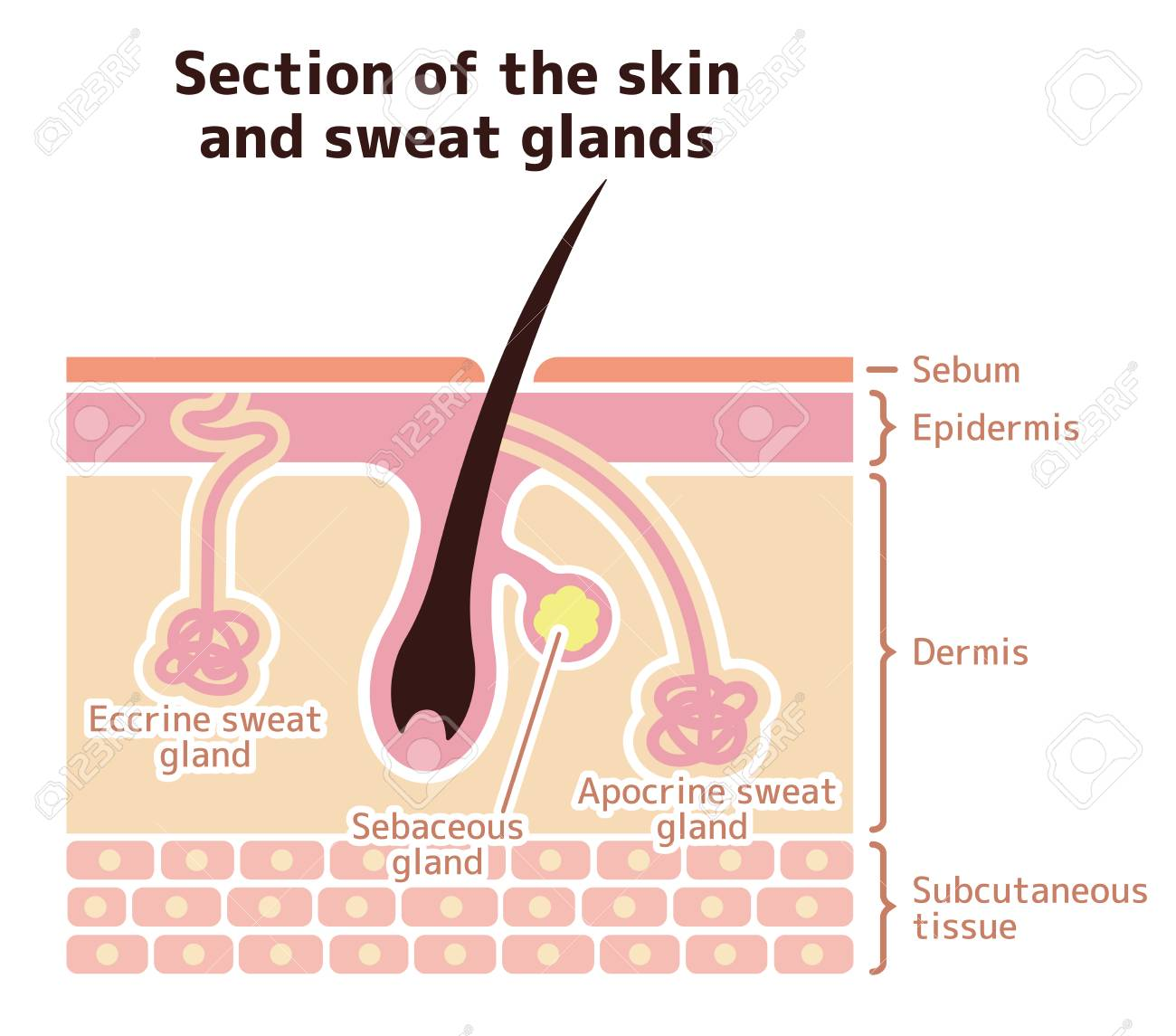 Section Of The Skin And Sweat Glands Vector Illustration English