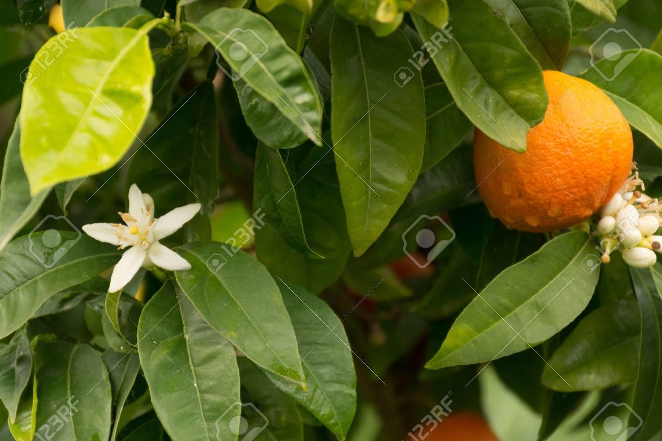 Mandarin orange tree with flowers and ripe mandarin fruit in the garden - 55967416