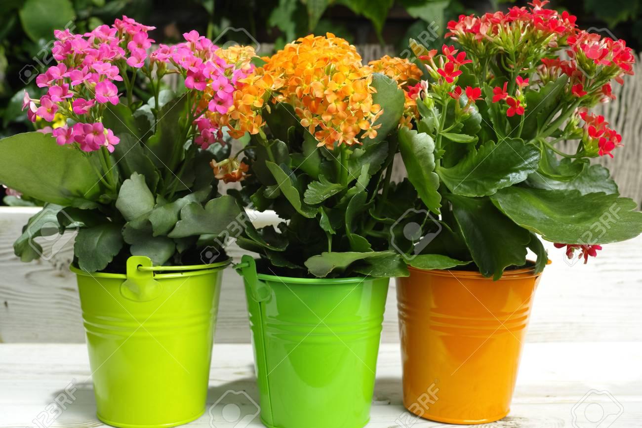 Kalanchoe Saxifragales Crassulaceae Kalanchoe Fleur Mise Au