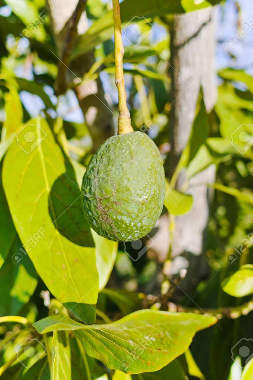 avocat mûr vert sur l'arbre, plantation d'avocat - alimentation