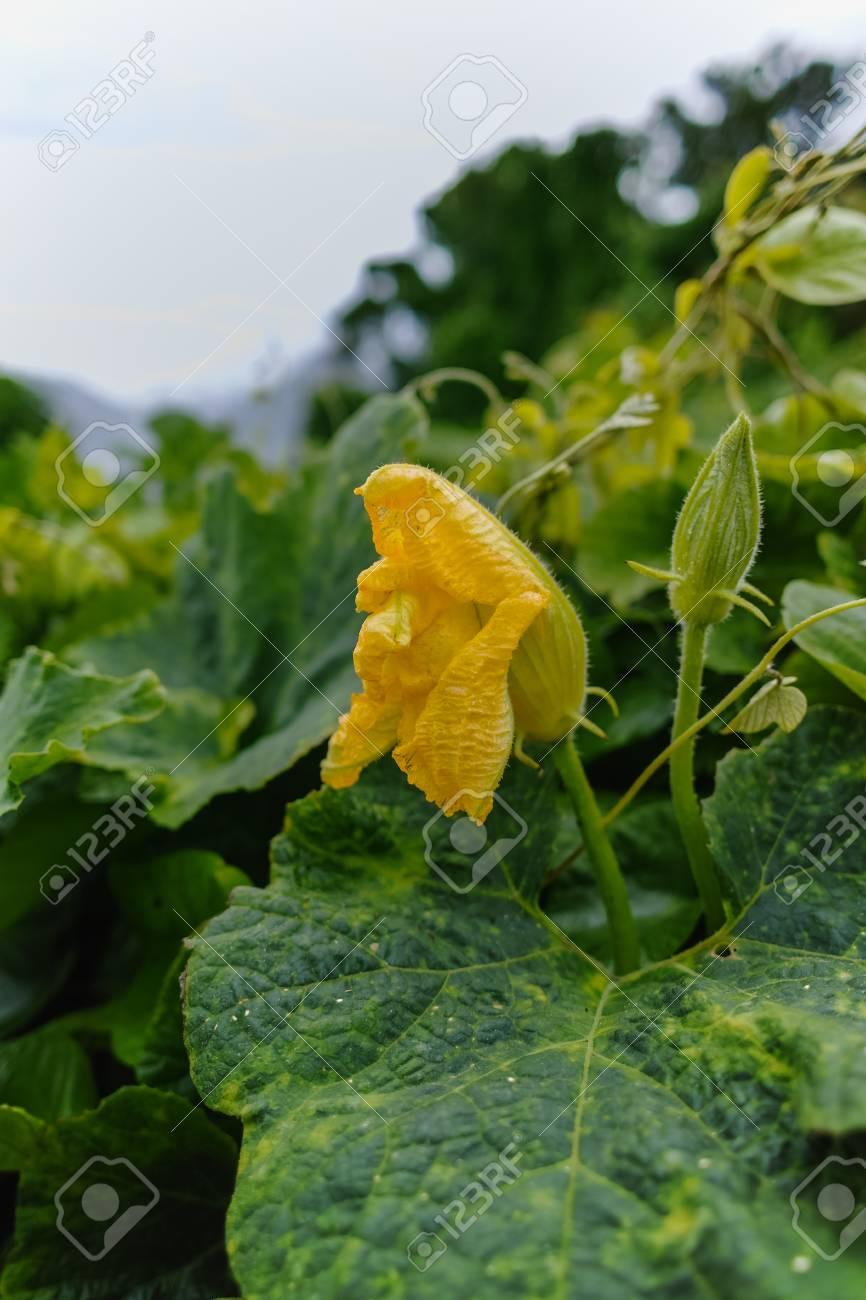 Zucchini Cucurbita Pepo Fleur Jaune Et Feuilles Vertes L Hiver A