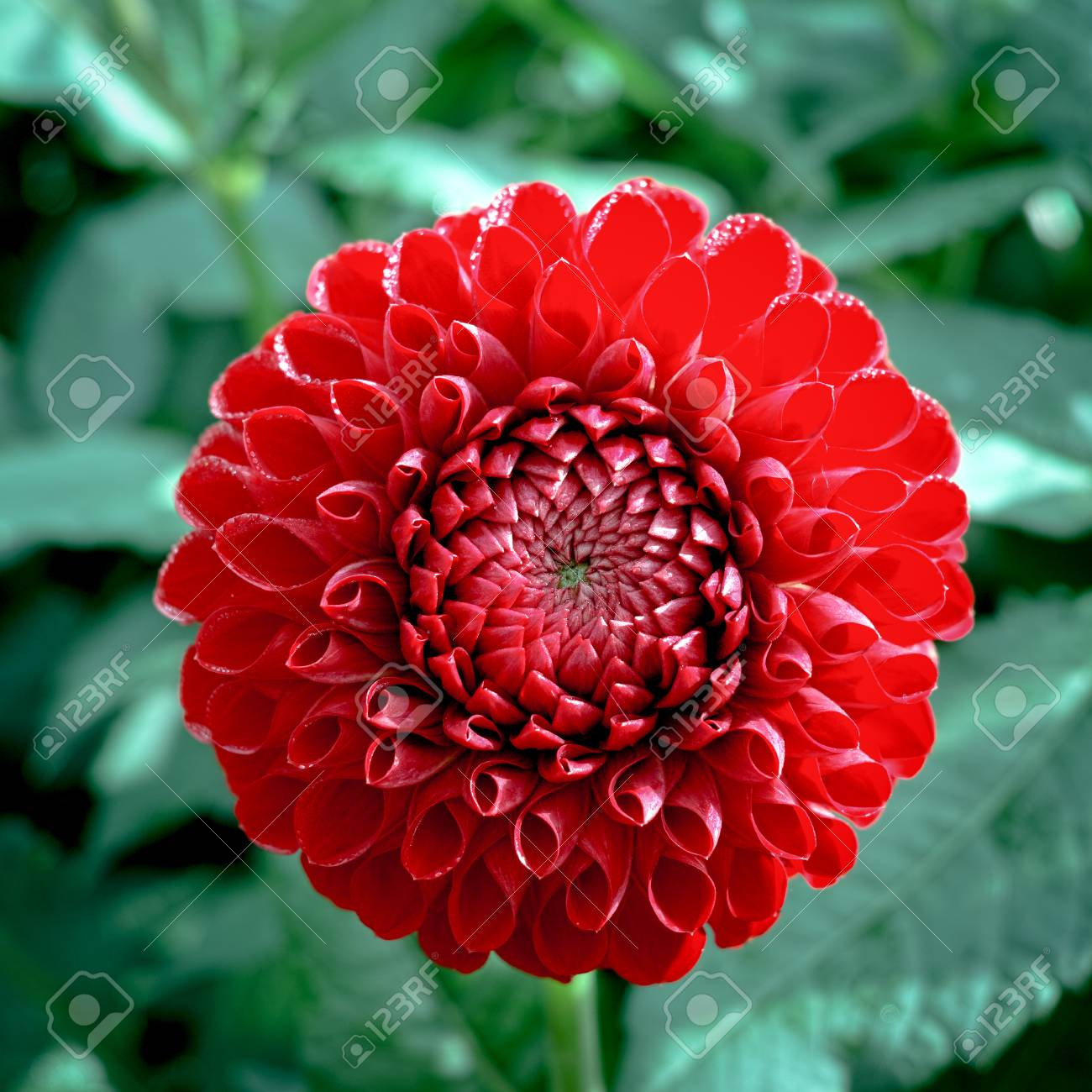 Red Dahlia Flower On The Plant Beautiful Bouquet Or Decoration