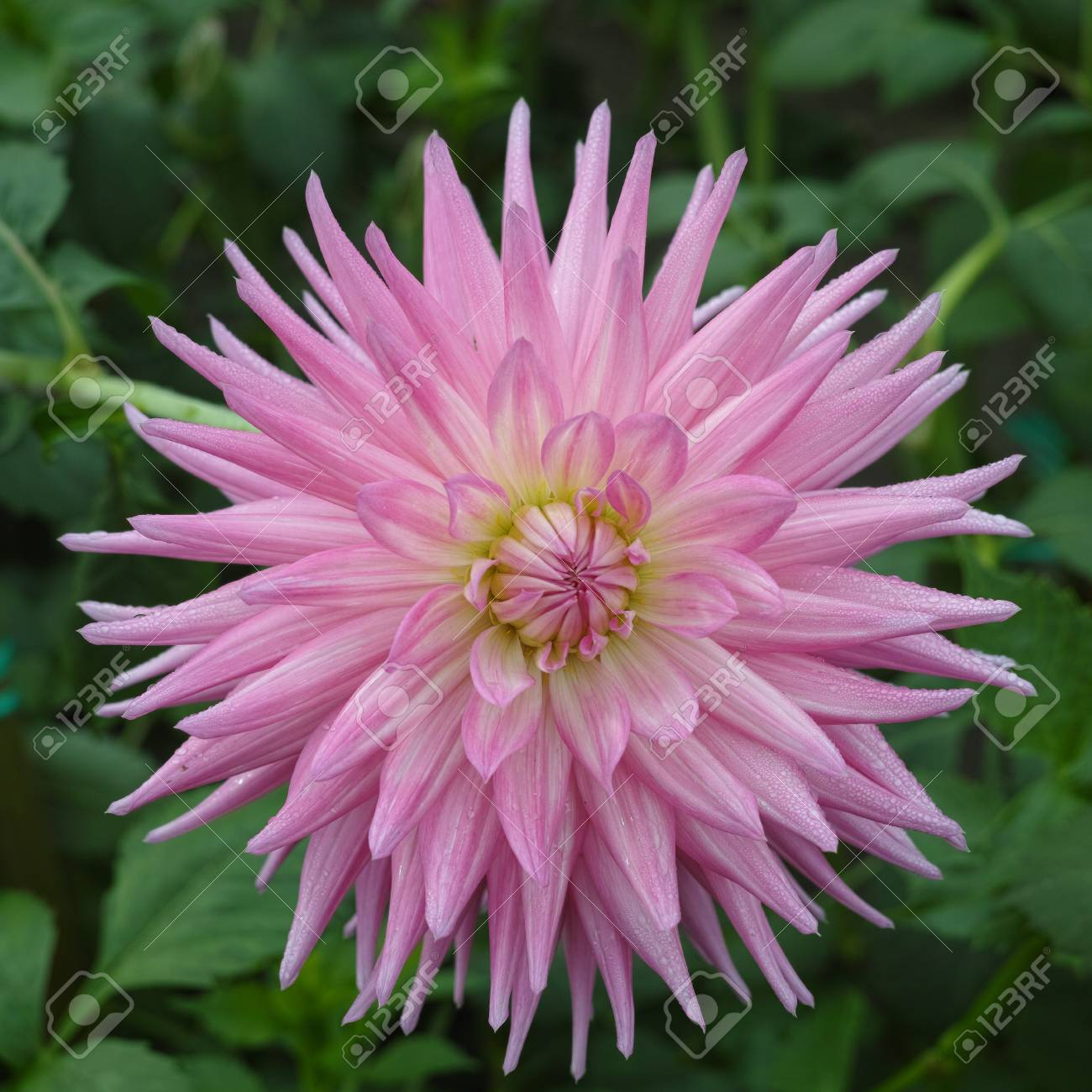 Pink Rose Dahlia Flower On The Plant, Beautiful Bouquet Or ...