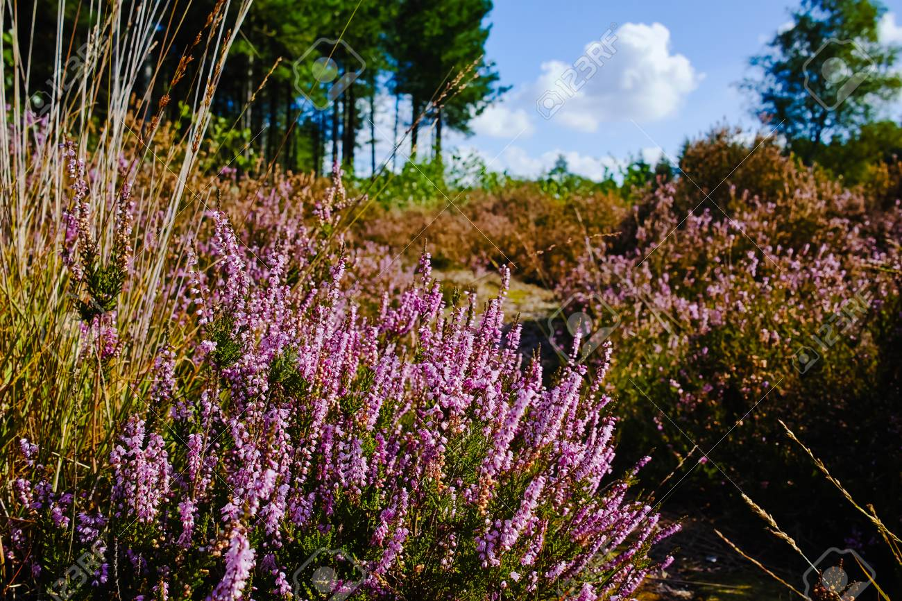 Heather moorland in Kempen forests, North Brabant, the Netherlands, autumn days - 86268861