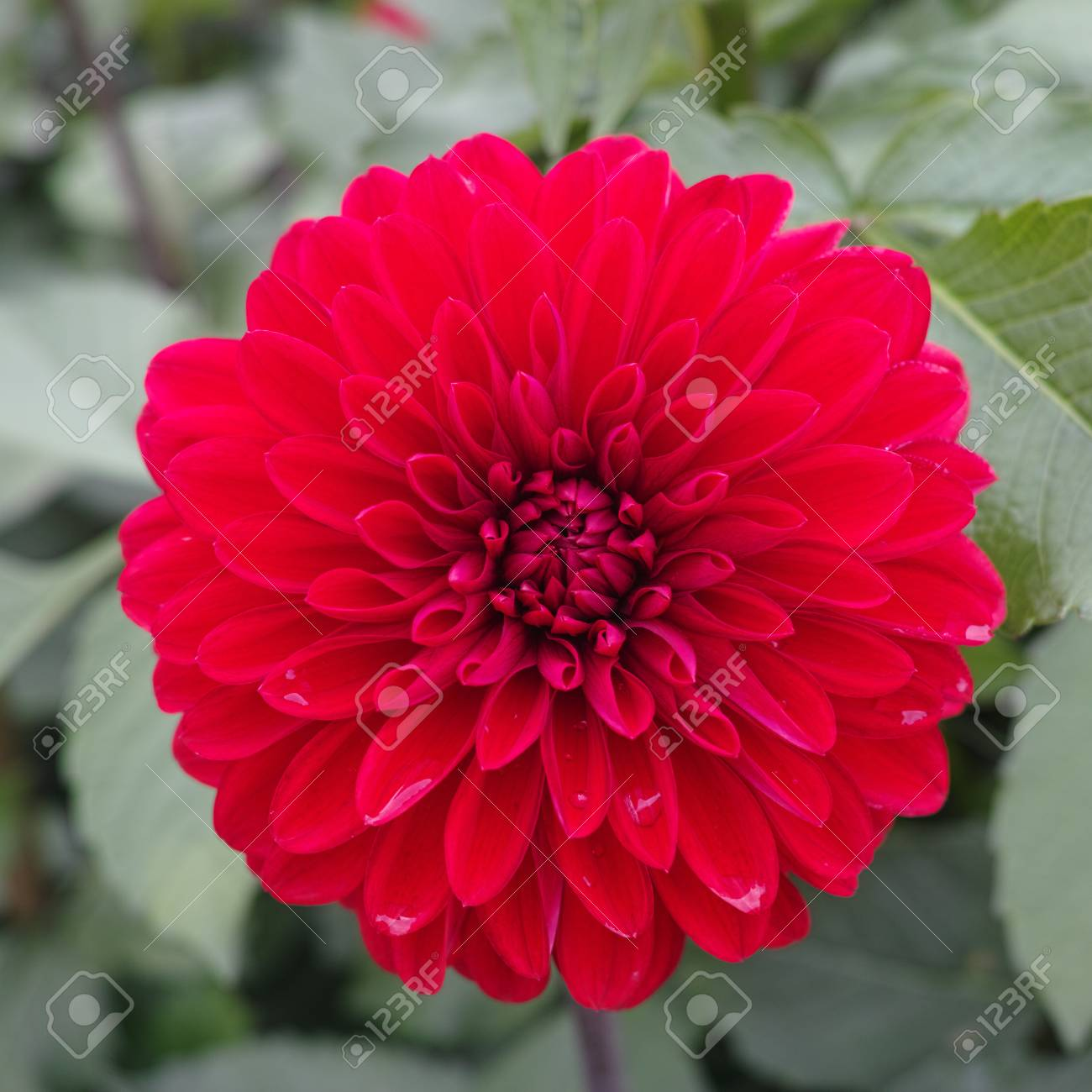 Pink Rose Dahlia Flower On The Plant Beautiful Bouquet Or Decoration