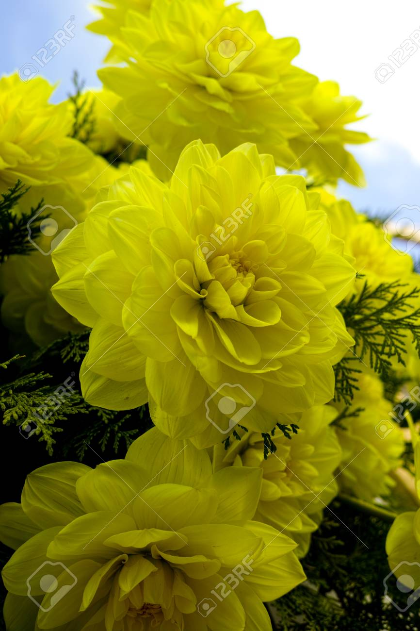 Yellow Dahlia Flower On The Plant Beautiful Bouquet Or Decoration