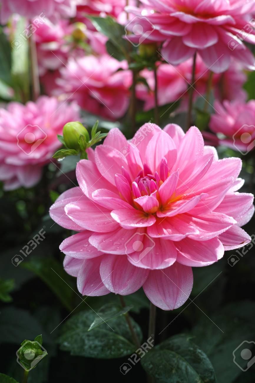 Fleur Rose Dahlia Rose Sur La Plante Beau Bouquet Ou Decoration Du Jardin