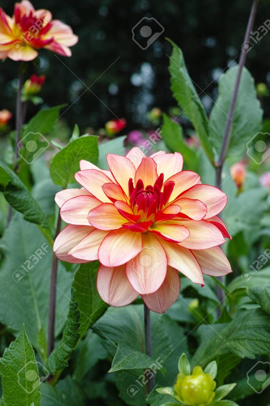 Salmon Orange Dahlia Flower On The Plant Beatyful Bouquet Or