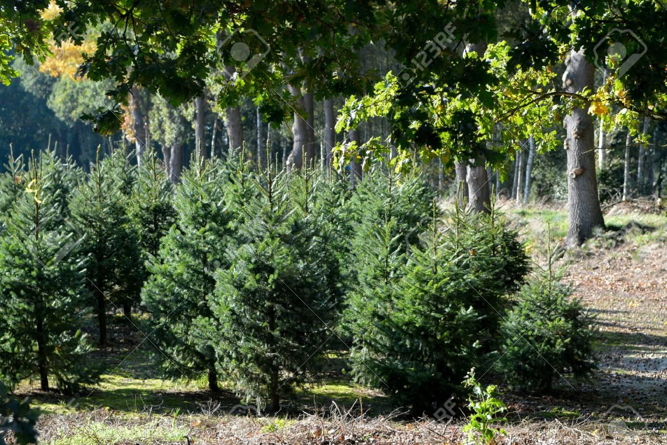 Christmas Tree Green Bio Plantation In The Netherlands, Nordmann ...
