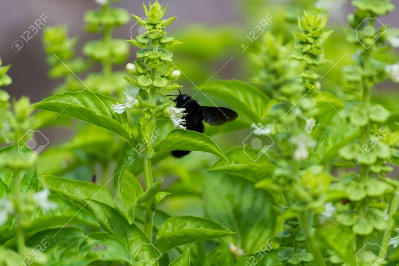 Plante De Basilic Aromatique Fraiche Dans Le Jardin Croissance A L