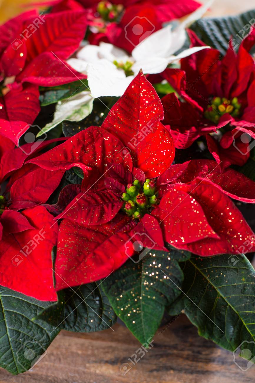 Christmas Star Red And White Poinsettia Flowers Christmas Decoration Stock Photo Picture And Royalty Free Image Image 90146136