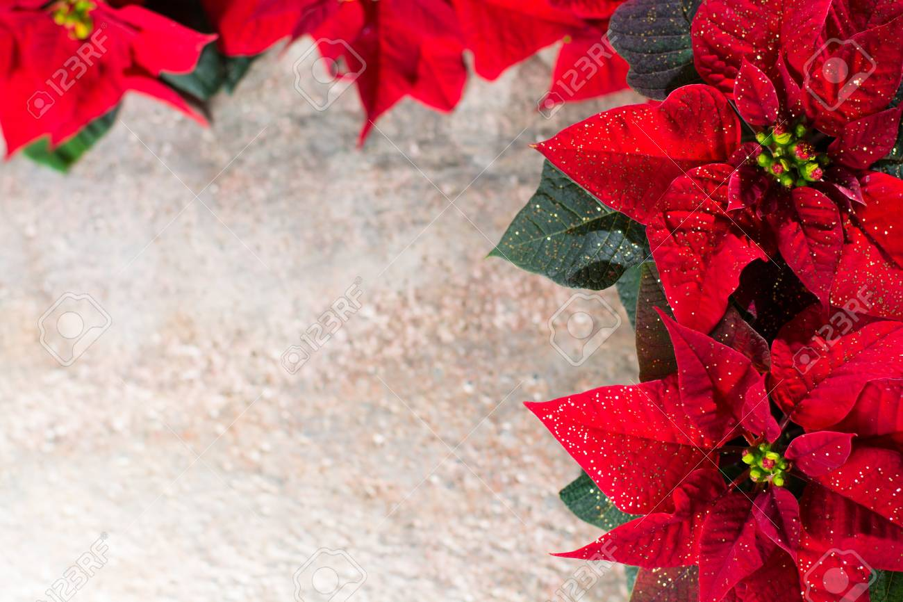 christmas star red and white poinsettia flowers colorful rustic christmas background with copy space - Rustic Christmas Background