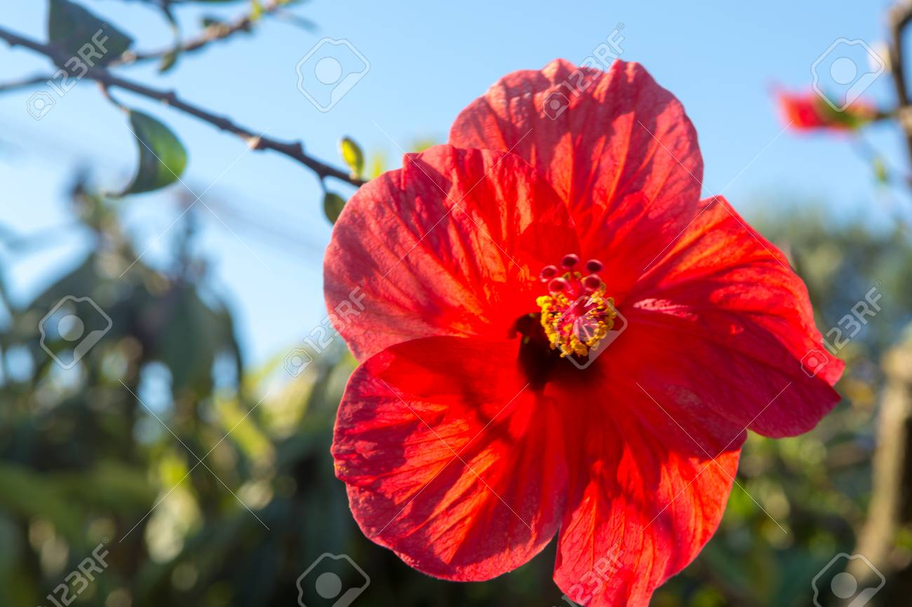Beautiful Hibiscus Flower In The Tree Blossoming In The Garden
