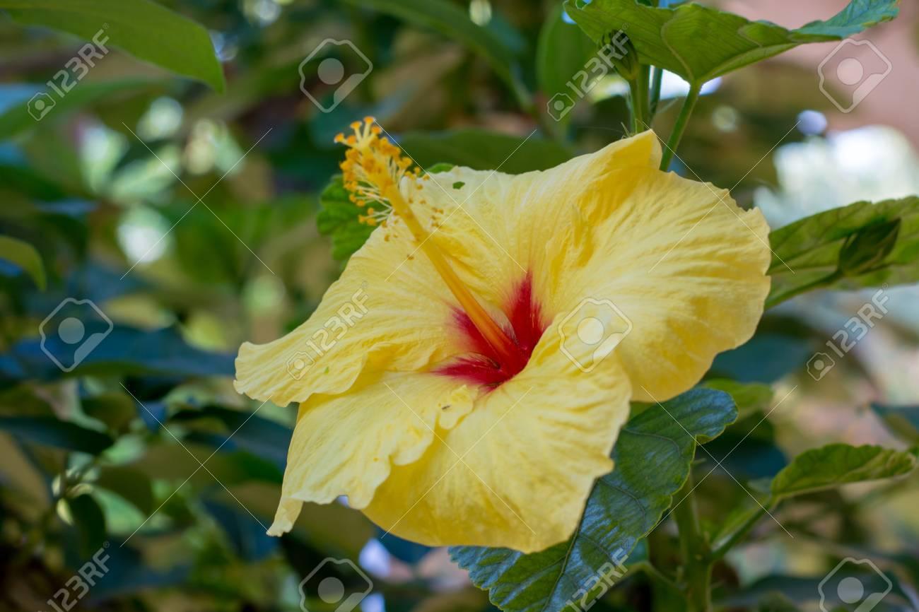 Beautiful hibiscus flower in the tree blossoming in the garden beautiful hibiscus flower in the tree blossoming in the garden close up copy space izmirmasajfo