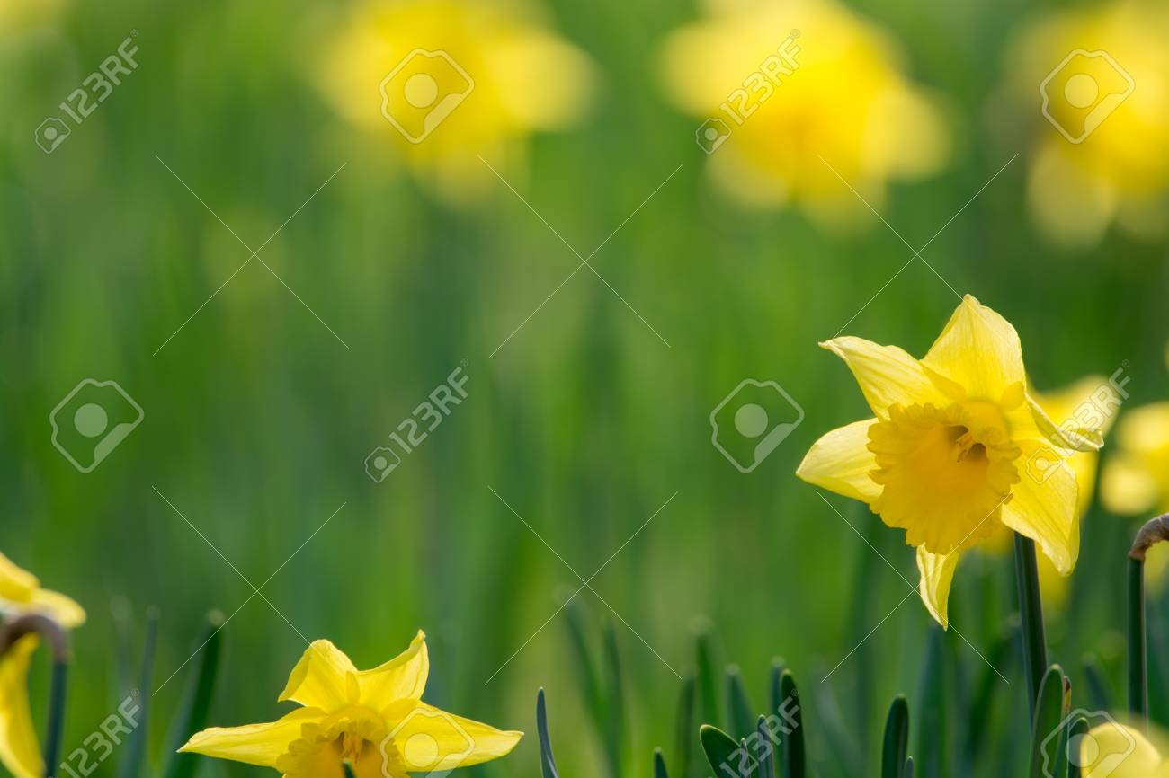 Blossoming of spring yellow daffodils flowers in park spring blossoming of spring yellow daffodils flowers in park spring season stock photo 95081160 mightylinksfo Gallery