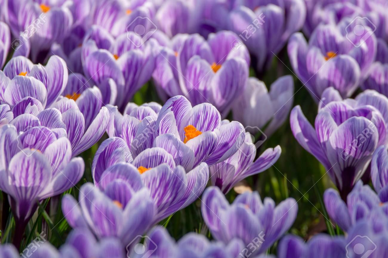 Spring purple crocus flowers on green grass, spring season in Holland - 95081238
